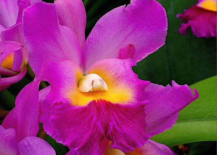 Orchid Greeting Card featuring the photograph Orchid Variations 1 by Rona Black