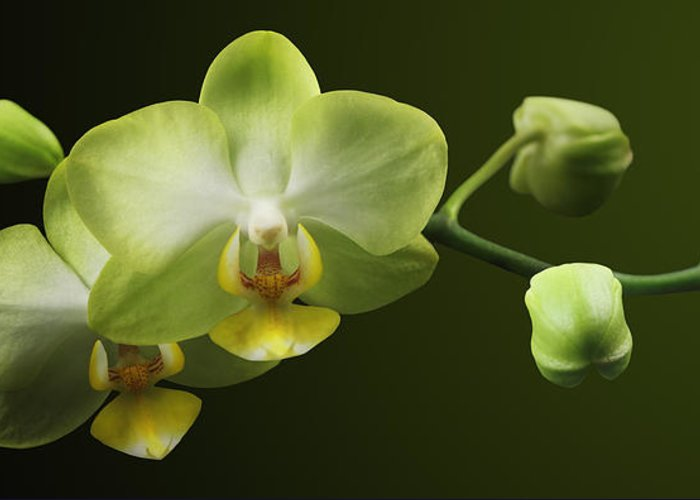 Orchid Greeting Card featuring the photograph Orchids by Marc Huebner