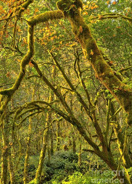 Oregon Rainforest Greeting Card featuring the photograph Oregon Rainforest Portrait by Adam Jewell