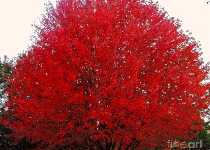 Red Maple Greeting Card featuring the photograph Oregon Red Maple Beauty by Kim Petitt
