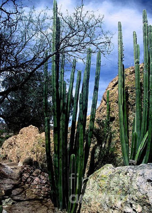 Cactus Greeting Card featuring the photograph Organ Pipe by Kathy McClure
