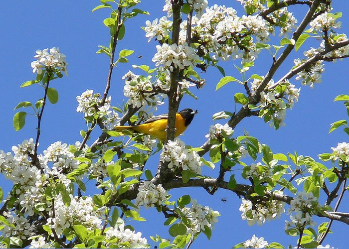 Oriole Greeting Card featuring the photograph Oriole In A Pear Tree by Natalie LaRocque