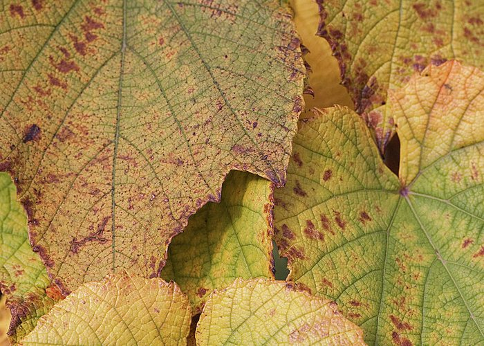 Coin Greeting Card featuring the photograph Ornamental Vine by Kim Haddon Photography