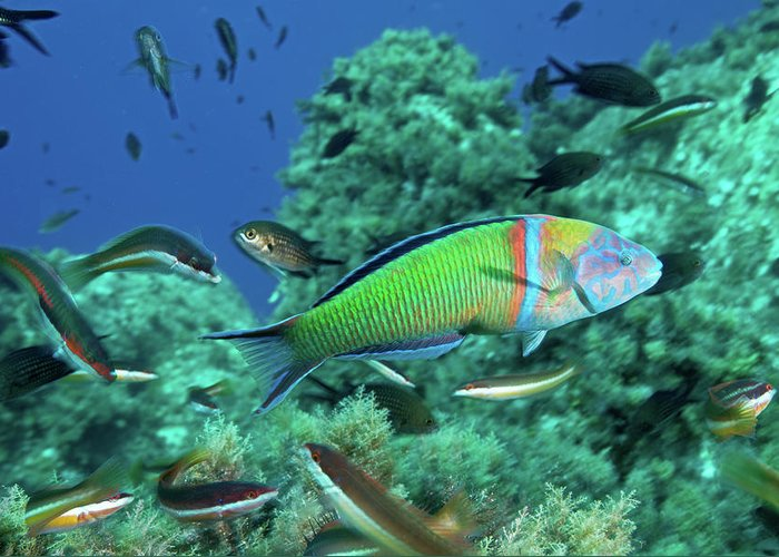 Underwater Greeting Card featuring the photograph Ornate Wrasse by Gerard Soury