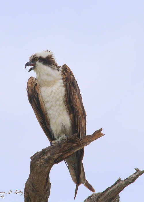 Osprey Greeting Card featuring the photograph Osprey Call by Cindy Reilley