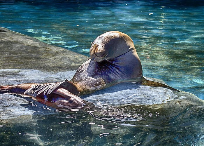 Sea Lion Greeting Card featuring the photograph Overlap by Douglas Barnard