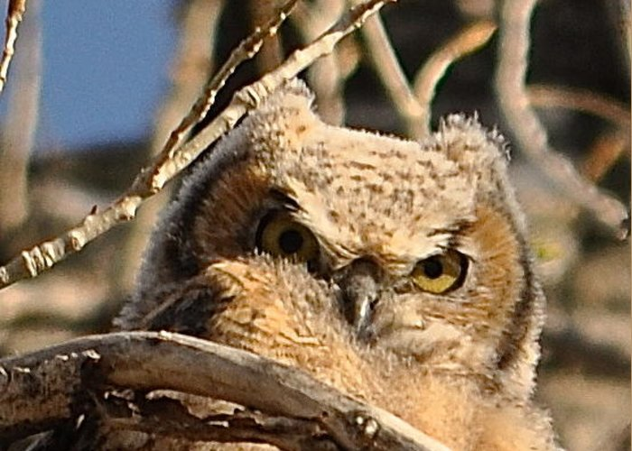 Owl Greeting Card featuring the photograph Owl Eyes by Susan Chesnut