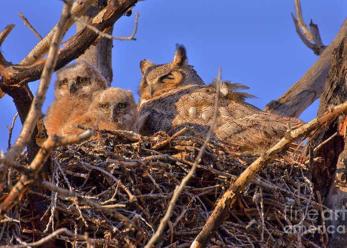 Great Horned Owls Greeting Card featuring the photograph Owlets by Aaron Whittemore