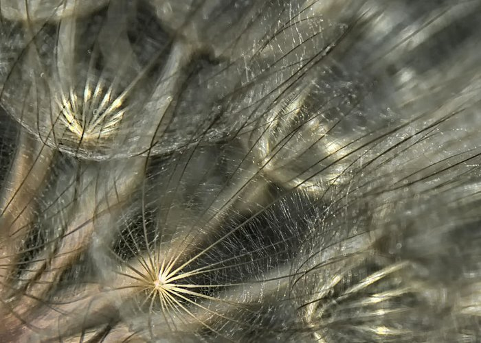 Oyster Flower Greeting Card featuring the photograph Oyster Flower Seed Head by Gloria Matyszyk