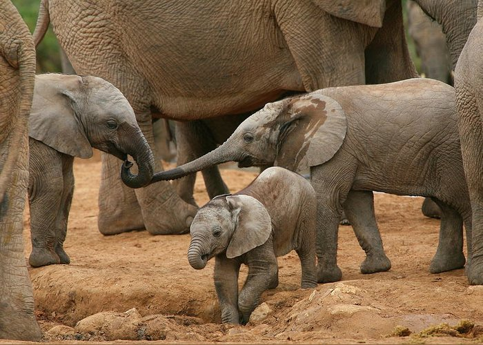Elephant Greeting Card featuring the photograph Pachyderm Pals by Bruce J Robinson