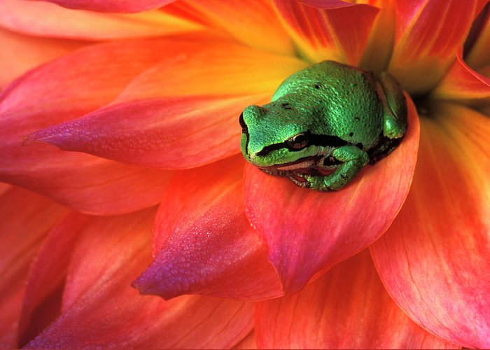 Pacific Chorus Frog Greeting Cards