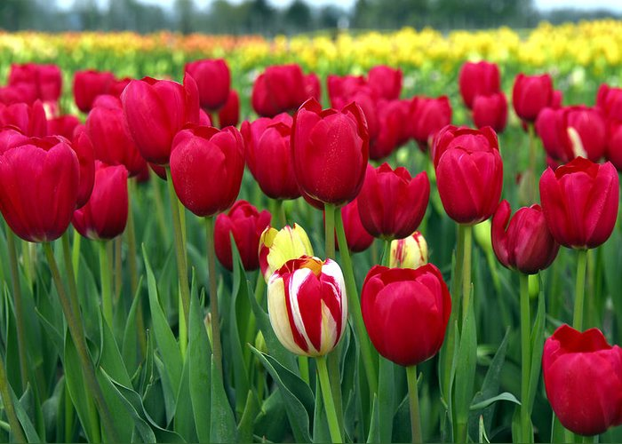 Tulip Greeting Card featuring the photograph Pacific Northwest Tulips 2 by Keith Gondron