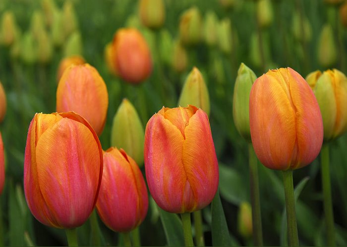 Tulips Greeting Card featuring the photograph Pacific Northwest Tulips 3 by Keith Gondron
