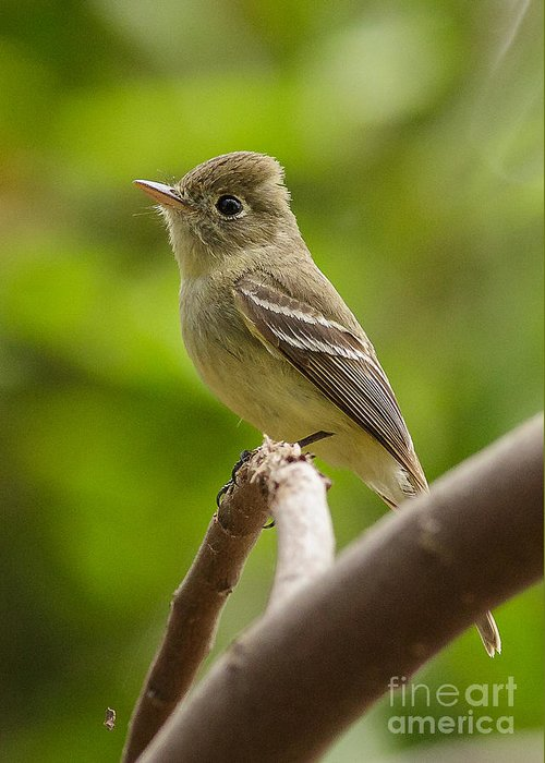 California Greeting Card featuring the photograph Pacific-slope Flycatcher by Carl Jackson