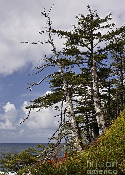 Tree Greeting Card featuring the photograph Pacific West Coast Trees by Inge Riis McDonald