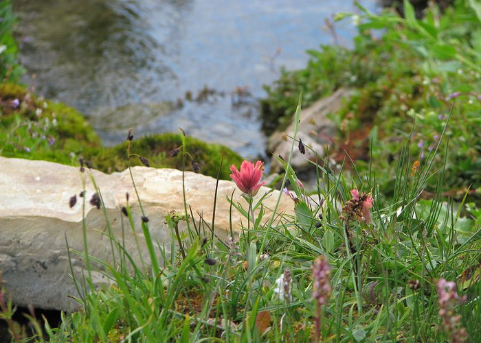 Castilleja Miniata Greeting Card featuring the photograph Paintbrush Spring by Pam Little