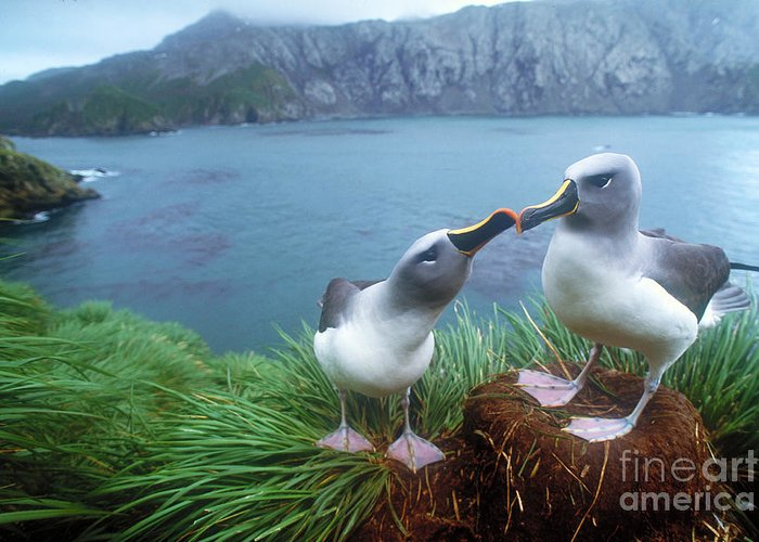 Grey-headed Albatross Greeting Card featuring the photograph Pair Of Grey-headed Albatross by Art Wolfe