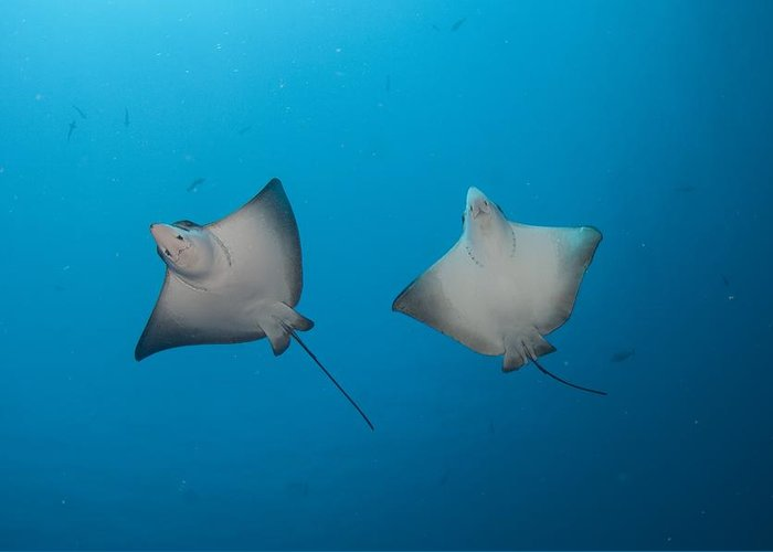 Aetobatus Narinari Greeting Card featuring the photograph Pair Of Spotted Eagle Rays by Science Photo Library