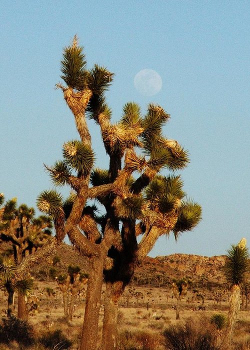 Joshua Tree Greeting Card featuring the photograph Pale Moon Rising by Patricia Quandel