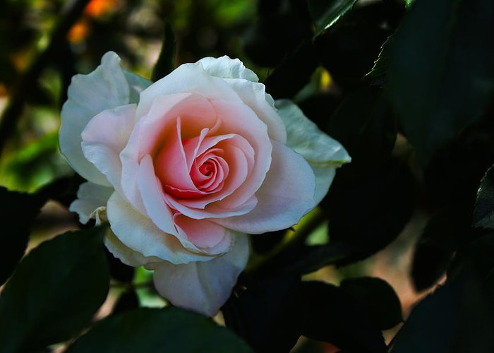 Rose Greeting Card featuring the photograph Pale Pink by Richard Stephen