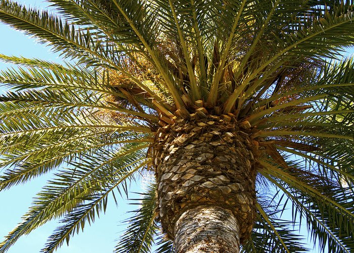 Palm Tree Greeting Card featuring the photograph Palm by Deana Rae