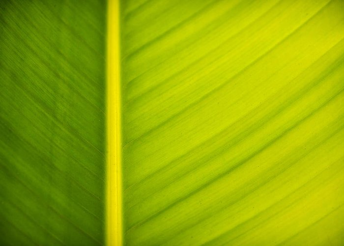 3scape Photos Greeting Card featuring the photograph Palm Leaf Macro Abstract by Adam Romanowicz