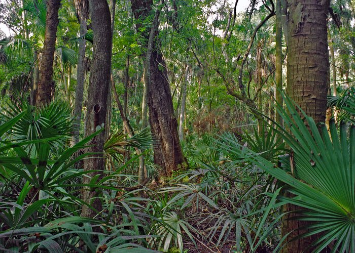 Chris Kusik Greeting Card featuring the photograph Palm Menagerie. Highlands Hammock. by Chris Kusik