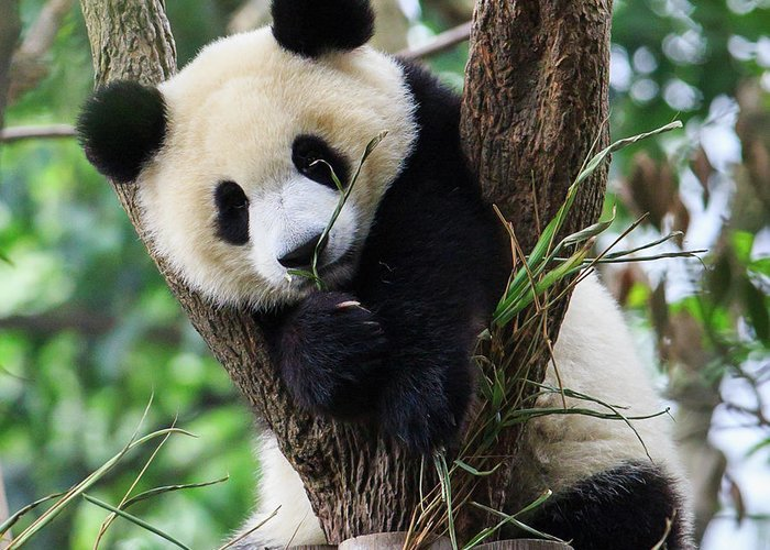 Panda Greeting Card featuring the photograph Panda Cub Resting On Tree by Feng Wei Photography