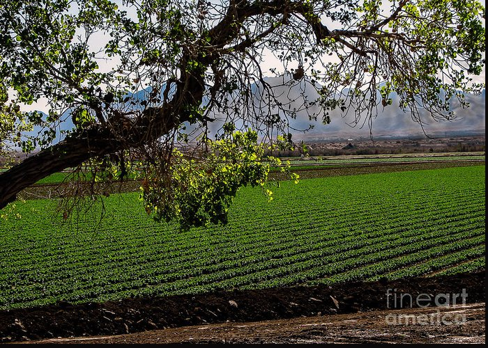 Winter Lettuce Greeting Card featuring the photograph Panoramic Of Winter Lettuce by Robert Bales