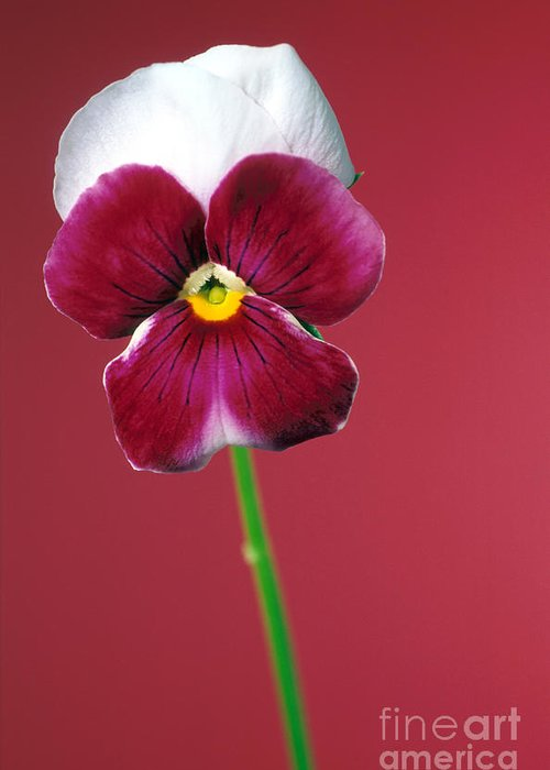 Pansy Greeting Card featuring the photograph Pansy by Carl Perkins