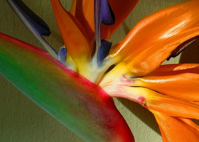 Bird Of Paradise Greeting Card featuring the photograph Paradise Morning by James Temple