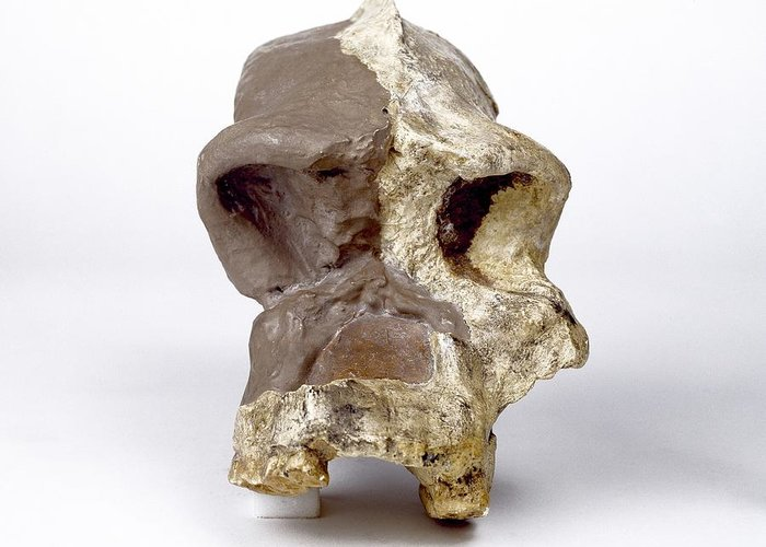 Sk46 Greeting Card featuring the photograph Paranthropus Robustus Cranium (sk46) by Science Photo Library