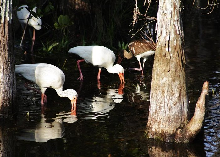 Ibis Greeting Card featuring the photograph Parents And Child by Chuck Hicks