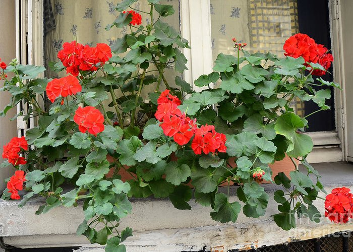Red Geraniums Photographs Greeting Cards