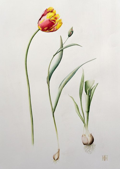 Botanical: Flowers 19th Greeting Card featuring the painting Parrot Tulip by Iona Hordern