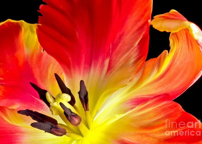 Flower Greeting Card featuring the photograph Parrot Tulip On Fire by Art Barker