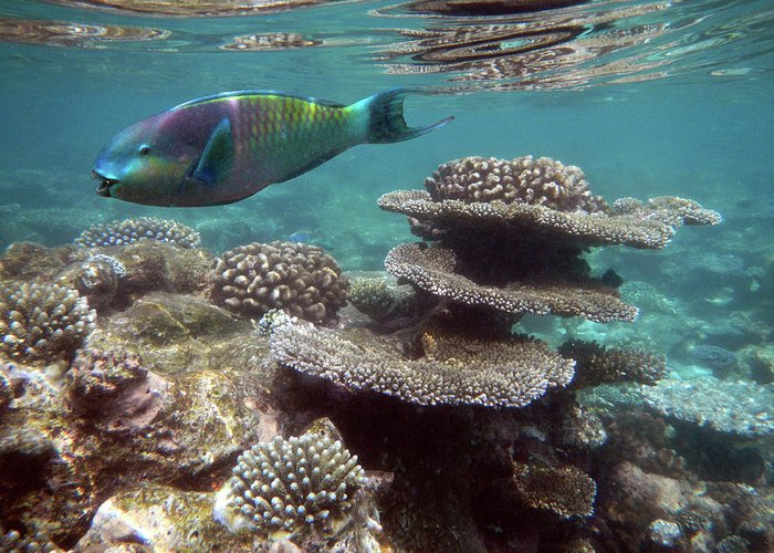 Underwater Greeting Card featuring the photograph Parrotfish On The Barrier Reef At by Federica Grassi