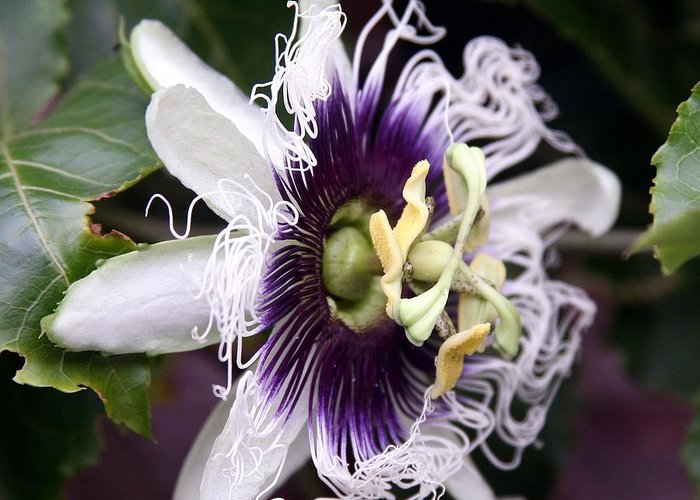 Unique Flowers Greeting Card featuring the photograph Pasionfruit Flower by Jeffrey Lee