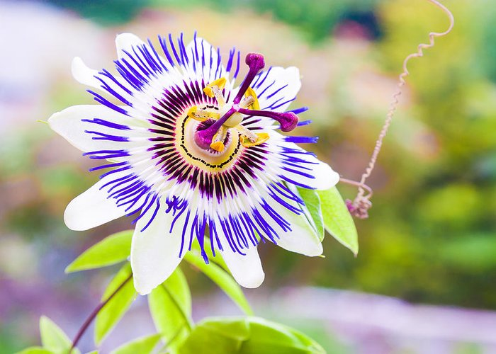 Green Greeting Card featuring the photograph Passiflora Or Passion Flower by Semmick Photo