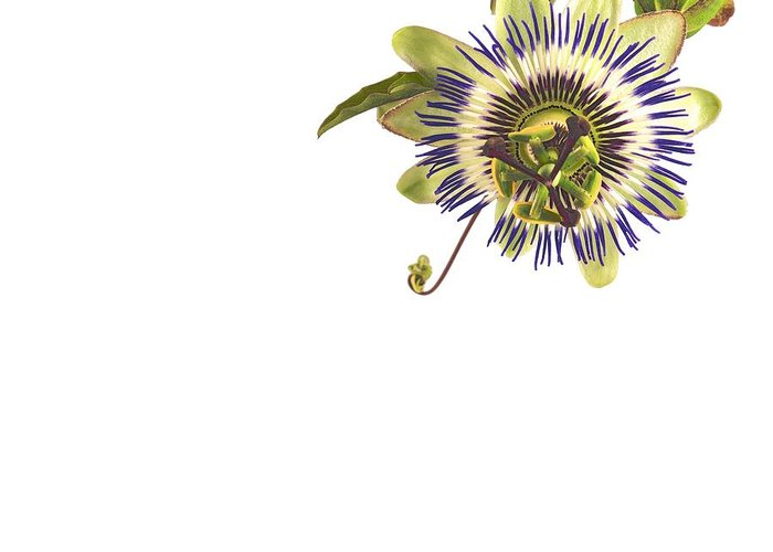 Jan Greeting Card featuring the photograph Passion Flower by Jan Hagan