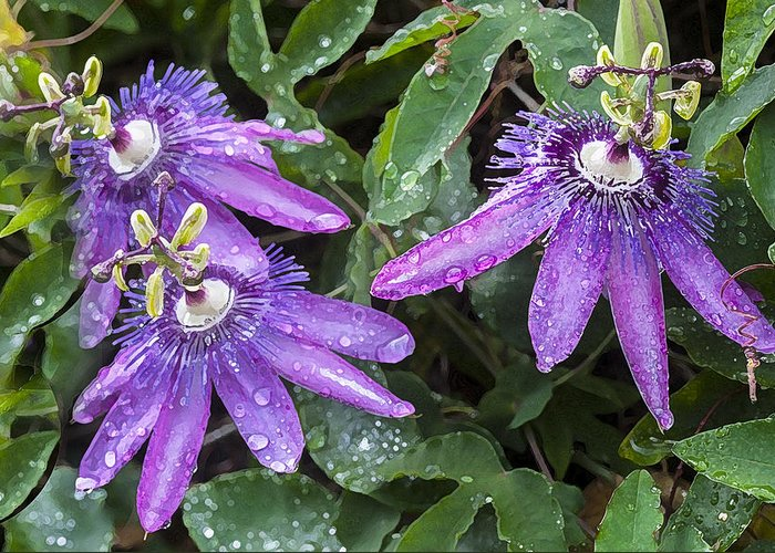Passion Flower Greeting Card featuring the photograph Passion Vine Flower Rain Drops by Rich Franco