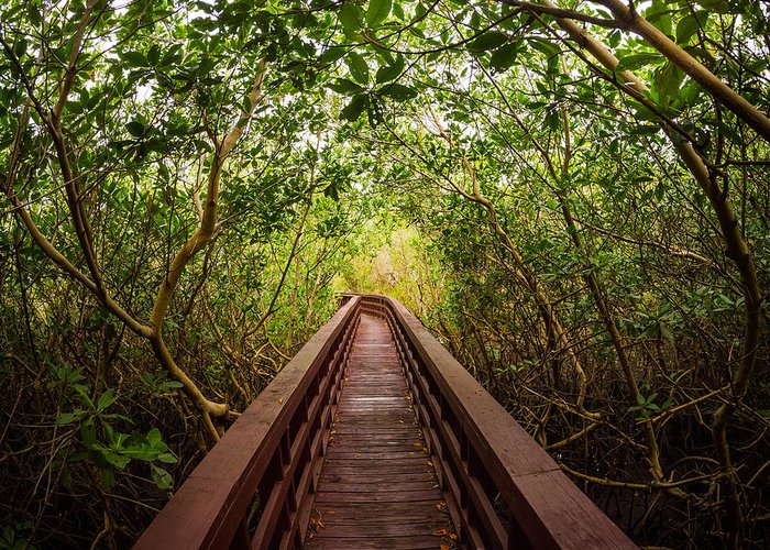 Mangrove Greeting Card featuring the photograph Path by Carl Engman