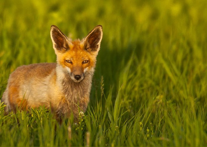 Fox Greeting Card featuring the photograph Patience by Kevin Dietrich