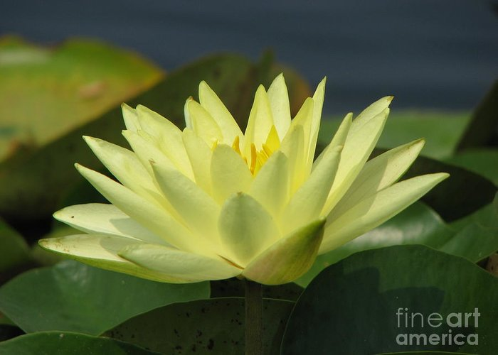 Lillies Greeting Card featuring the photograph Peace by Amanda Barcon