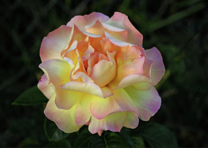 Rose Greeting Card featuring the photograph Peace Rose by Sandy Keeton
