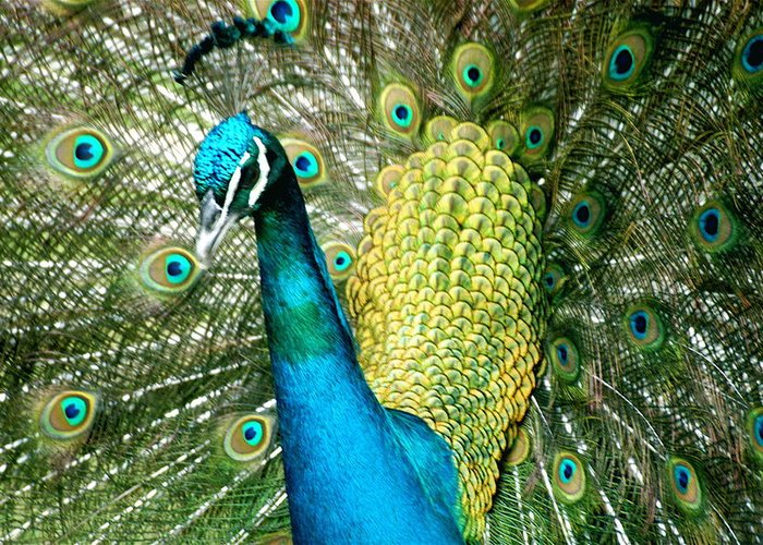 Peacock Greeting Card featuring the photograph Peacock Feathers by John Colley