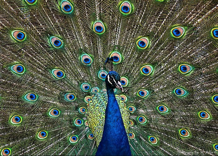 Animal Photography Greeting Card featuring the photograph Peacock In Full Pulmage by Matt Steffen