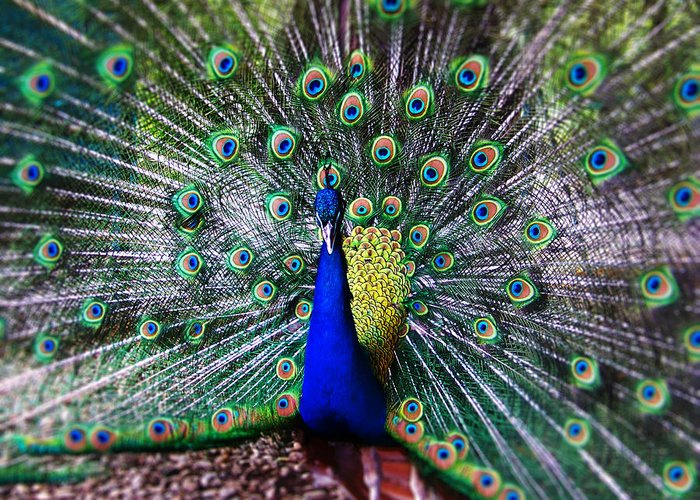 Peacock Greeting Card featuring the photograph Peacock by Marius Mitea