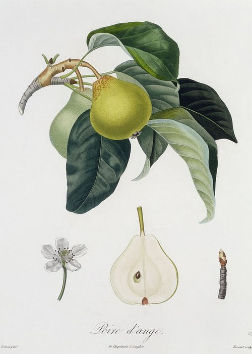 Pear Greeting Card featuring the painting Pear by Pierre Antoine Poiteau