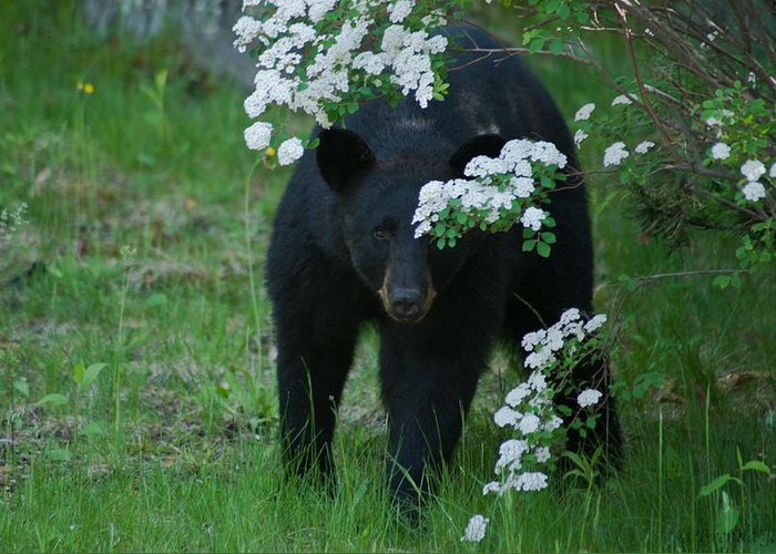 Bear Greeting Card featuring the photograph Peek-a-boo by Brenda Jacobs